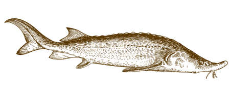 threatened: Vector antique engraving illustration of sturgeon fish isolated on white background