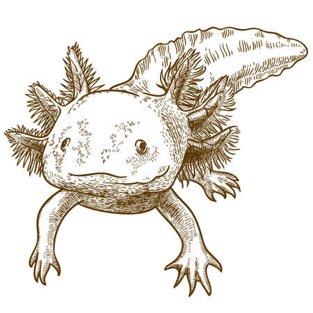 Vector antique engraving illustration of axolotl salamander isolated on white background
