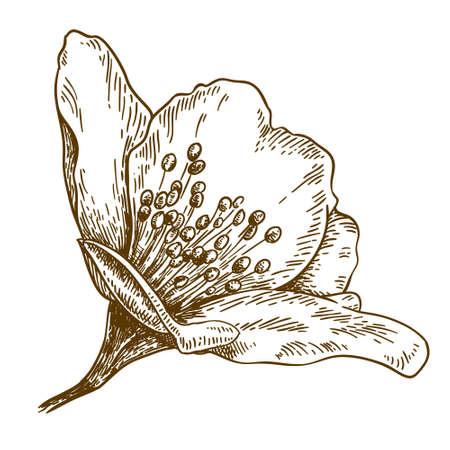 Vector antique engraving illustration of jasmine flower isolated on white background