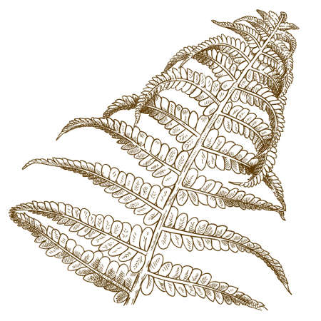 Vector antique engraving illustration of fern isolated on white background Çizim