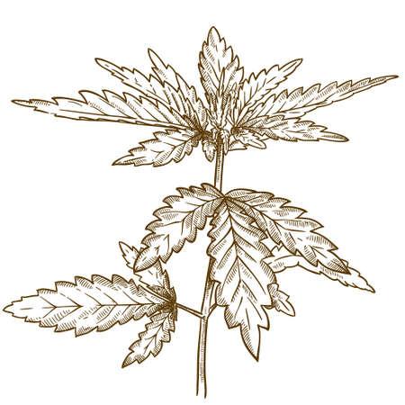 ベクトル アンティークの彫刻の白い背景に分離された大麻葉のイラスト