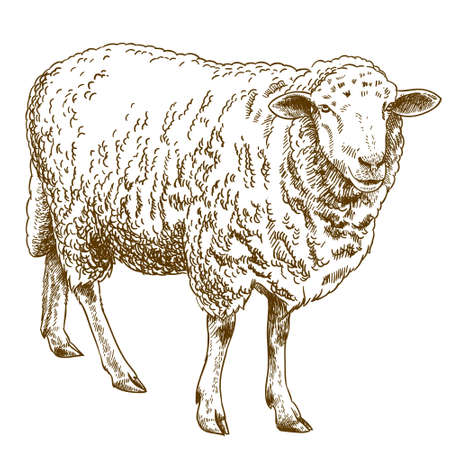 Vector antique engraving drawing illustration of sheep isolated on white background