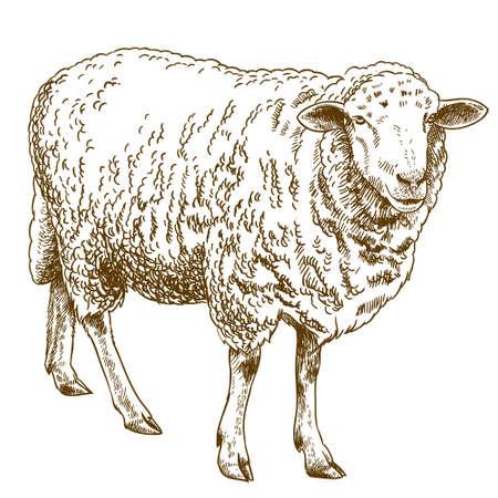 De vector antieke illustratie van de gravuretekening van schapen die op witte achtergrond wordt geïsoleerd