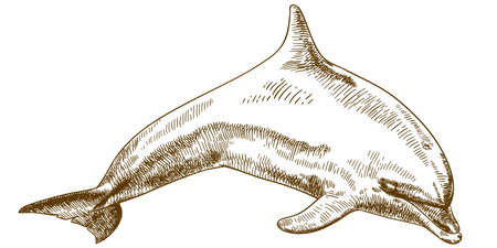 Vector antique engraving illustration of jumping dolphin isolated on white background