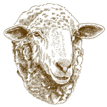 Vector antique engraving drawing illustration of sheep head isolated on white background Vectores