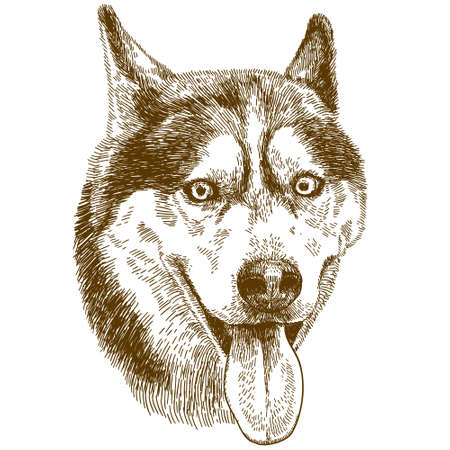 Vector antique engraving drawing illustration of husky dog head isolated on white background Vectores
