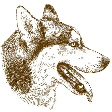 Vector antique engraving drawing illustration of husky dog head isolated on white background Illustration