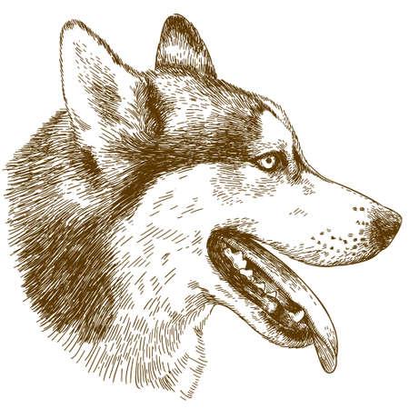Vector antique engraving drawing illustration of husky dog head isolated on white background Illusztráció