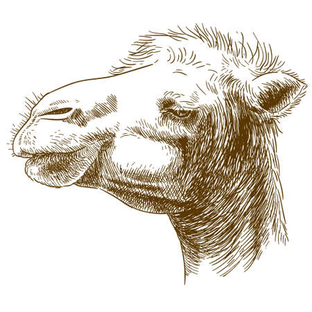 Vector antique engraving illustration of camel head isolated on white background