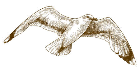 Vector antique engraving illustration of flying gull isolated on white background