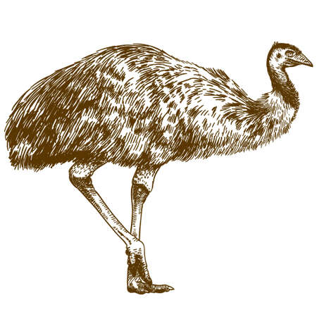 Vector antique engraving drawing illustration of ostrich Emu isolated on white background