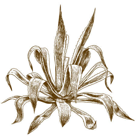 Vector antique engraving illustration of agave isolated on white background 일러스트