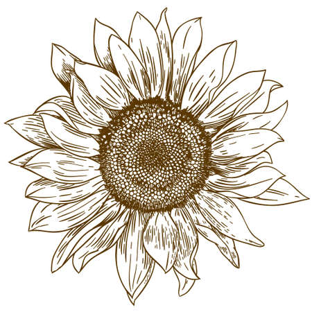 Vector antique engraving drawing illustration of big sunflower isolated on white background Ilustração