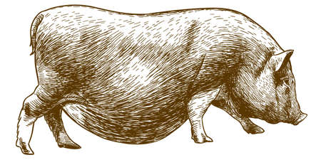 Vector antique engraving drawing illustration of hog isolated