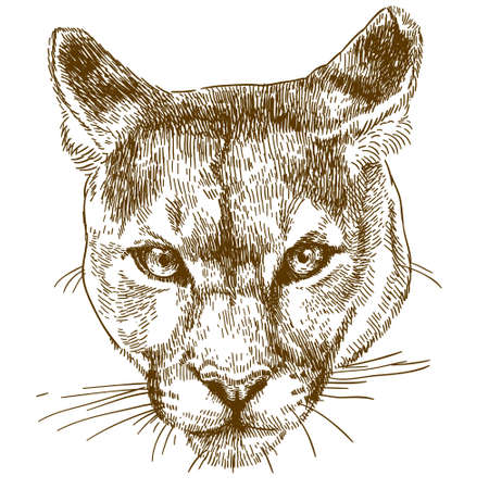 Vector antique engraving illustration of cougar head isolated