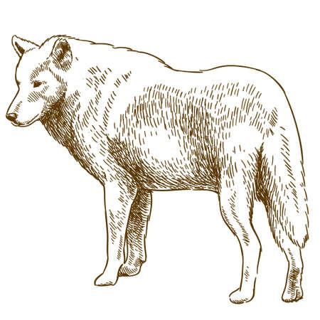 De vector antieke geïsoleerde illustratie van de gravitetekening van wolf