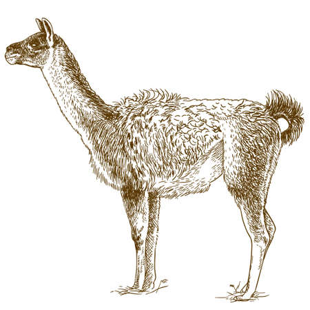 Vector antique engraving drawing illustration of lama isolated
