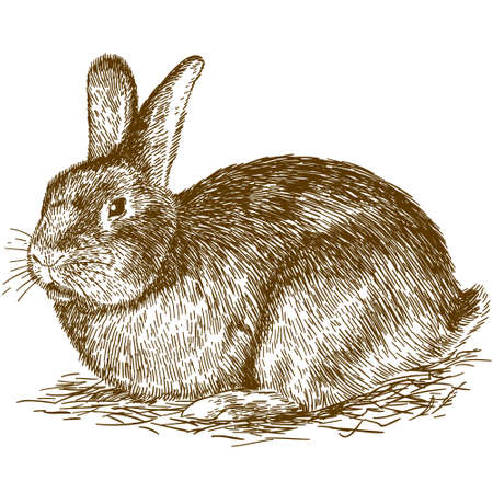 Vector antique engraving drawing illustration of bunny isolated