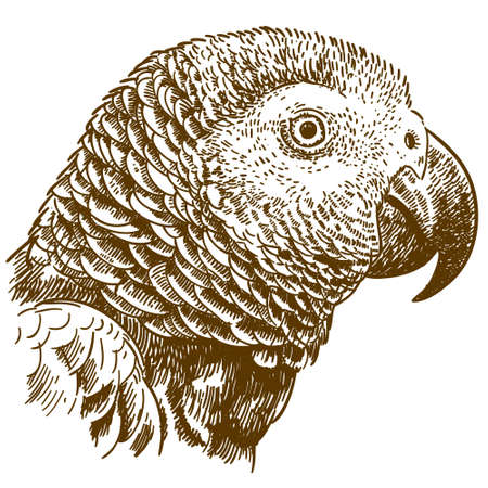 Vector antique engraving drawing illustration of African grey parrot head isolated