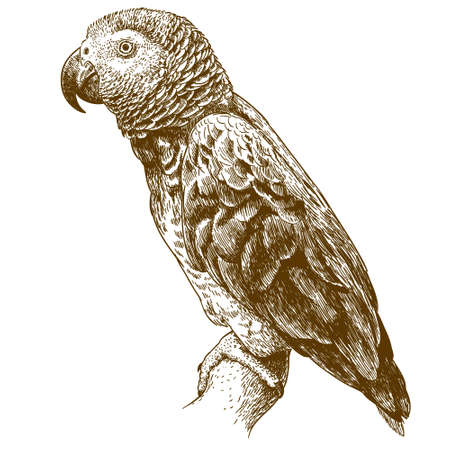 Vector antique engraving drawing illustration of African grey parrot isolated