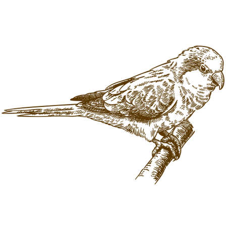 Vector antique engraving drawing illustration of monk parakeet isolated
