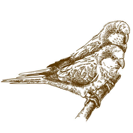 Vector antique engraving drawing illustration of two monk parakeets Иллюстрация