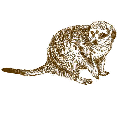 Vector antique engraving drawing illustration of meerkat isolated