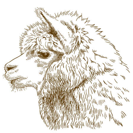 Vector antique engraving drawing illustration of fluffy llama head isolated Çizim