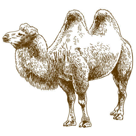 Vector antique engraving drawing illustration of camel isolated