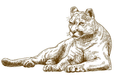 Vector antique engraving illustration of cougar isolated Çizim