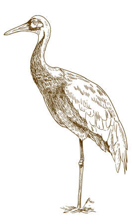 Vector antique engraving drawing illustration of white naped crane isolated