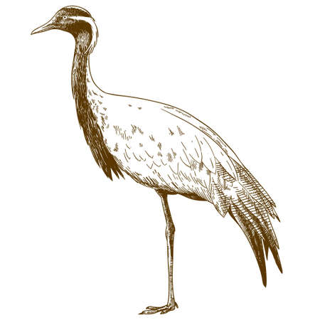 Vector antique engraving drawing illustration of demoiselle crane isolated
