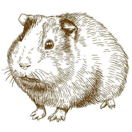 Vector antique engraving drawing illustration of guinea pig or cavy