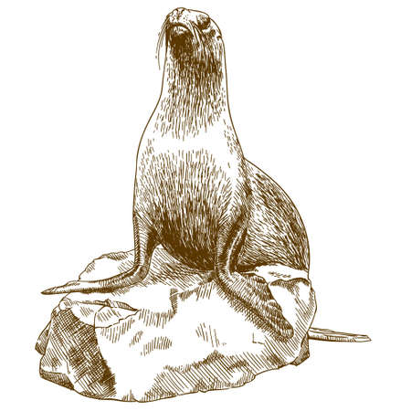 Vector antique engraving drawing illustration of female sea lion isolated on white background Illustration