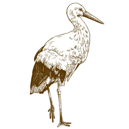 Vector antique engraving drawing illustration of stork isolated on white background  イラスト・ベクター素材