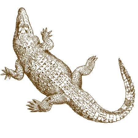 Vector antique engraving illustration of big crocodile isolated on white background Stock Illustratie