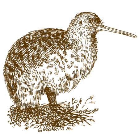 Vector antique engraving drawing illustration of kiwi bird isolated on white background 일러스트