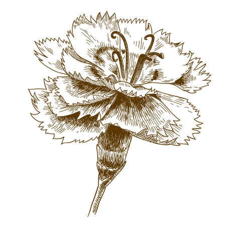 Vector antique engraving drawing illustration of cornflower isolated on white background