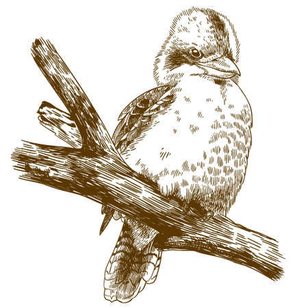 Vector antique engraving drawing illustration of laughing kookaburra isolated on white background