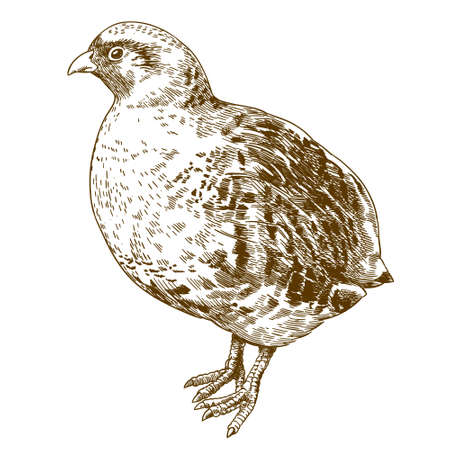 Vector antique engraving drawing illustration of grey partridge isolated on white background Illustration