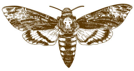 Vector antique engraving drawing illustration of African death-head hawkmoth isolated on white background Иллюстрация