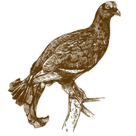 Vector antique engraving drawing illustration of black grouse isolated on white background