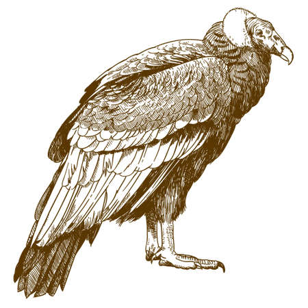 Vector antique engraving drawing illustration of big condor isolated on white background