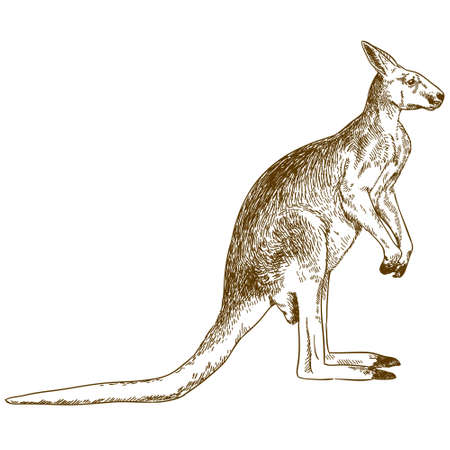 Vector antique engraving drawing illustration of big kangaroo isolated on white background
