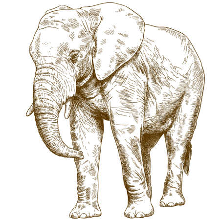 Antique engraving drawing vector illustration of big elephant isolated on white background.