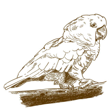 Antique engraving drawing vector illustration of white cockatoo isolated on white background.