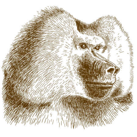 Antique engraving drawing vector illustration of baboon head isolated on white background. Illustration