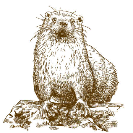 Antique engraving drawing vector illustration of otter isolated on white background. Ilustracja