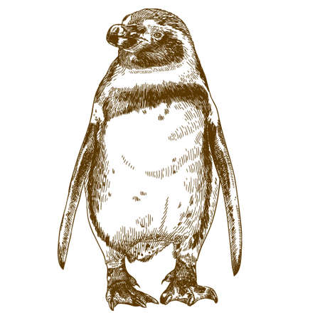 Antique engraving drawing vector illustration of Humboldt penguin isolated on white background.