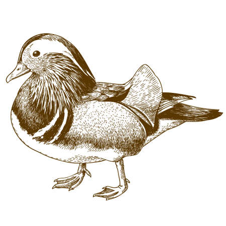 Antique engraving drawing vector illustration of mandarin duck isolated on white background.